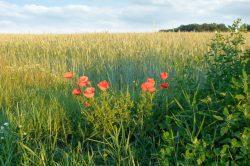 Feld mit Kornblumen