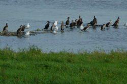 es gibt viele Vögel an der Elbe